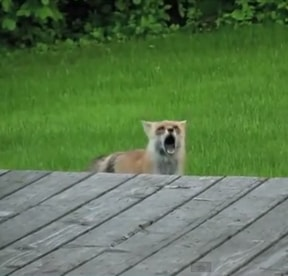 foxscream
