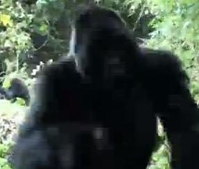 gorillaattack