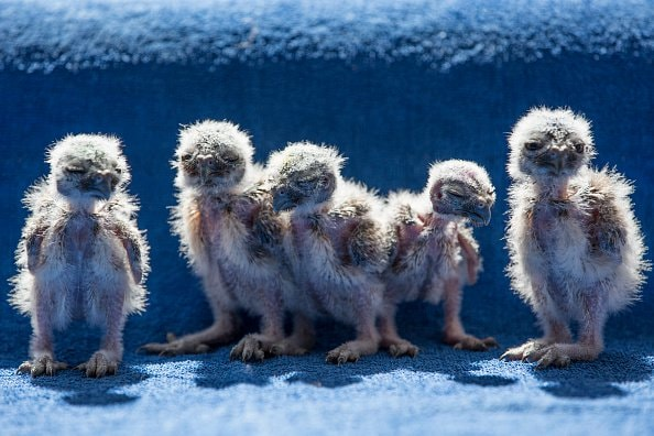 Baby Barn Owls That Look Like Aliens from Another Planet